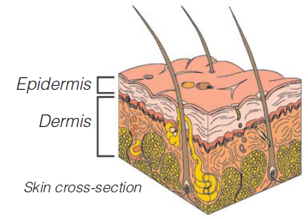 Skin cross-section