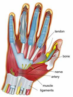 anatomical representation of a hand